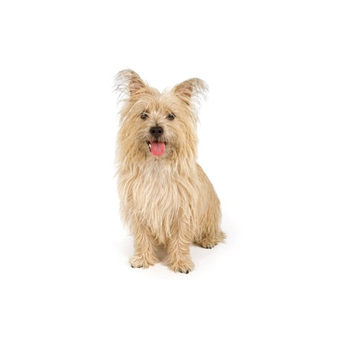 Food Best For Cairn Terrier