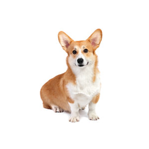 Mini Corgi Puppies For Sale >> Pembroke Welsh Corgi Puppies Petland San Antonio