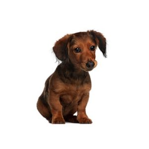 Dachshund Breed Information Dachshund Puppies For Sale
