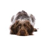 Petland San Antonio German Wirehaired Pointer