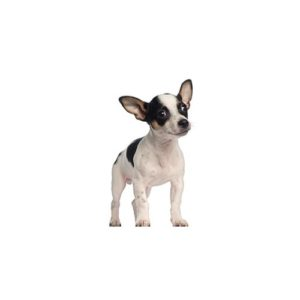 Rat Terrier Puppies - Petland San Antonio