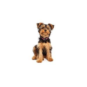 Yorkshire Terrier Puppies Petland San Antonio