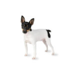 Petland San Antonio Toy Fox Terrier