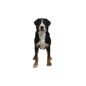 Great Swiss Mountain Dog Puppies Petland San Antonio