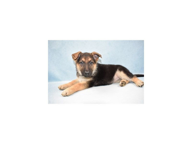 German Shepherd-Female-Black & Tan-2597263-Petland San Antonio
