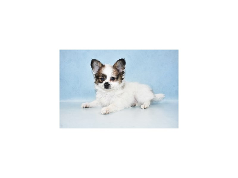 Papillon-Male-Sable & White-2611649-Petland San Antonio