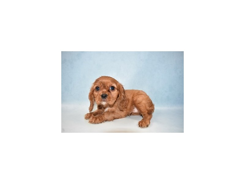 Cavalier King Charles Spaniel-Male-Red and White-2633686-Petland San Antonio
