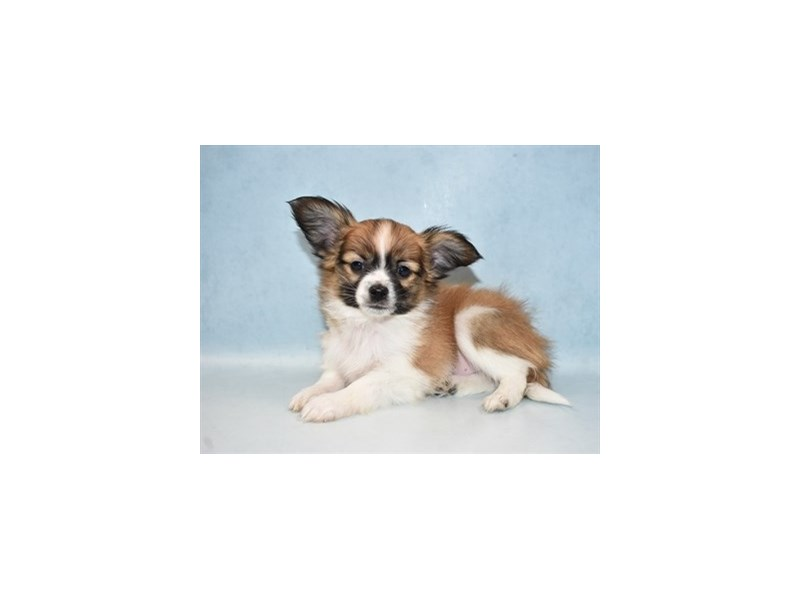 Papillon-Male-White and Red-2625886-Petland San Antonio