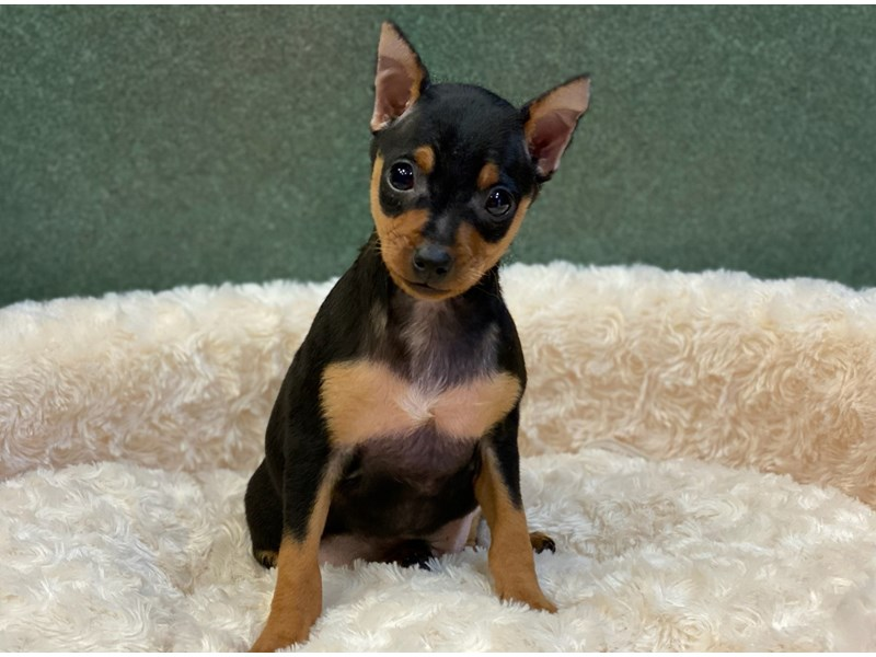 Miniature Pinscher-Male-Black & Tan-2627431-Petland San Antonio