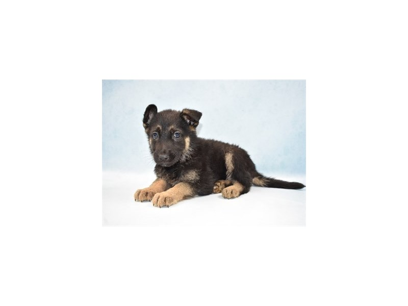 German Shepherd-Male-Black and Tan-2633745-Petland San Antonio