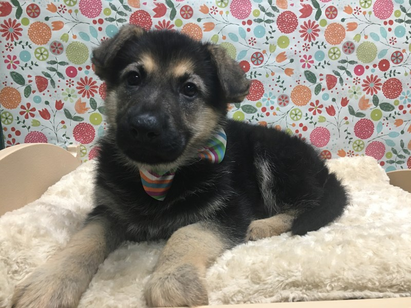 German Shepherd-Male-blk & tn-2642249-Petland San Antonio
