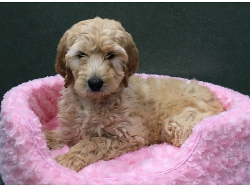Goldendoodle-Female-Golden-2642507-Petland San Antonio