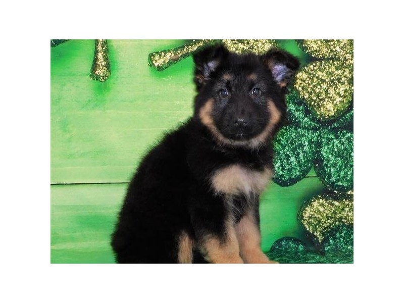 German Shepherd-Female-Black & Tan-2649939-Petland San Antonio