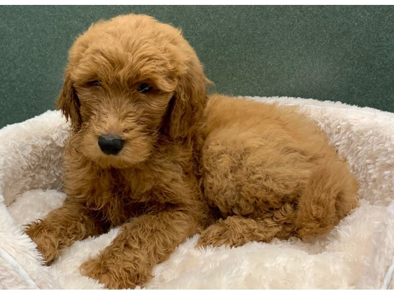 Goldendoodle-Male-Red-2649969-Petland San Antonio