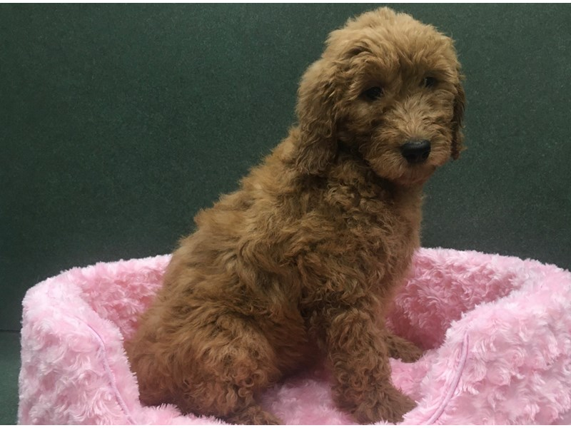 Goldendoodle-Female-Red-2649975-Petland San Antonio