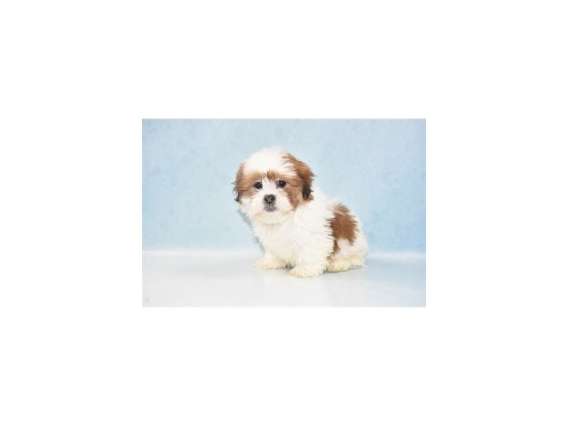 Lhasa Apso-Male-Red Gold-2655438-Petland San Antonio