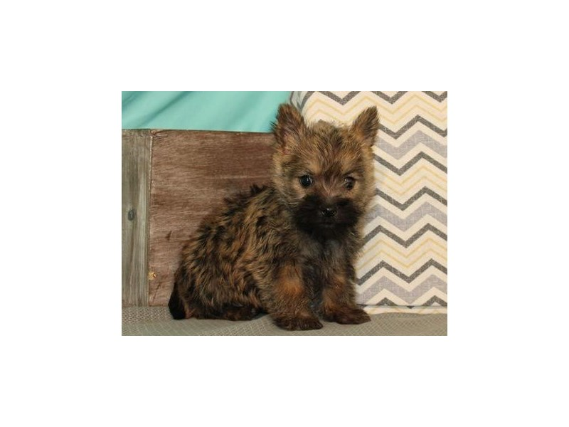 Cairn Terrier-Female-Wheaten-2657785-Petland San Antonio