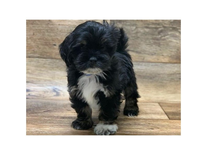 Lhasa Apso-Male-Black & Tan-2645010-Petland San Antonio