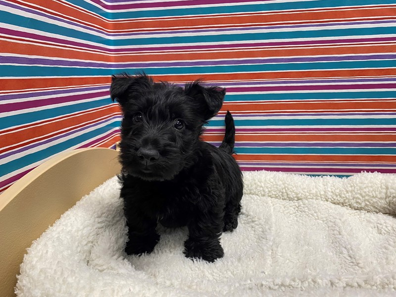 Scottish Terrier-Male-blk-2681645-Petland San Antonio