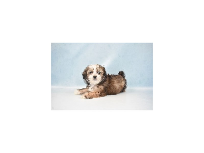 Lhasa Apso-Male-Golden-2680552-Petland San Antonio