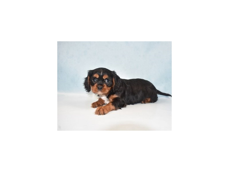 Cavalier King Charles Spaniel-Female-Black and Tan-2713638-Petland San Antonio