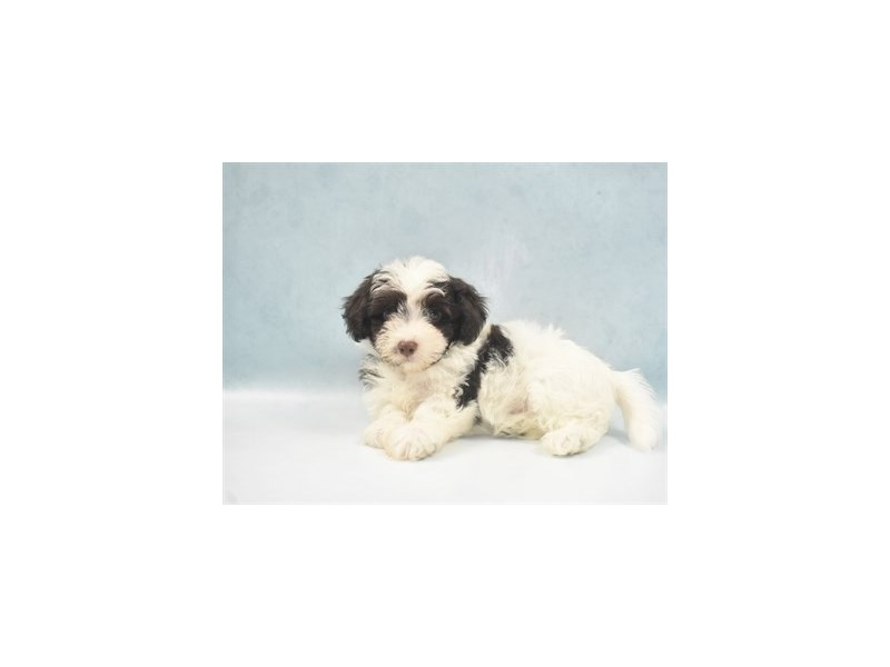 Havanese-Male-Chocolate-2750313-Petland San Antonio