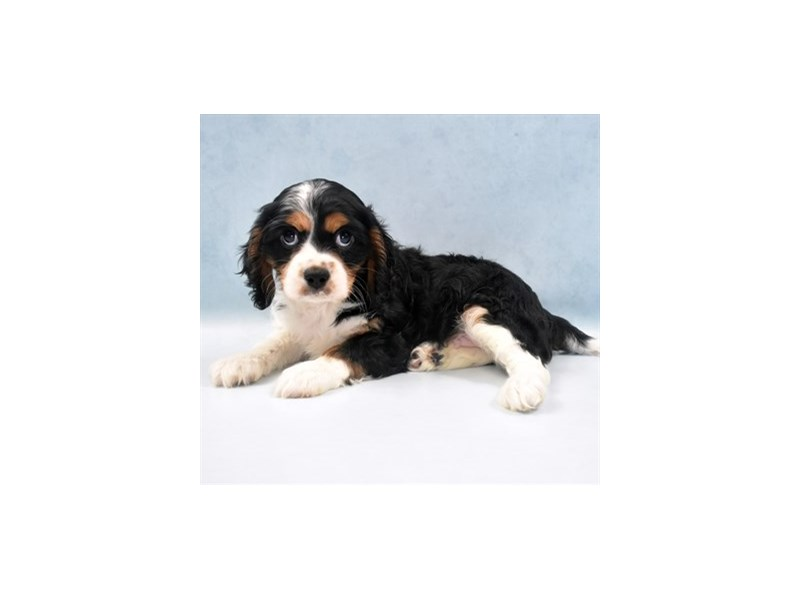 Cavalier King Charles Spaniel-Male-Black Tan & White-2750314-Petland San Antonio