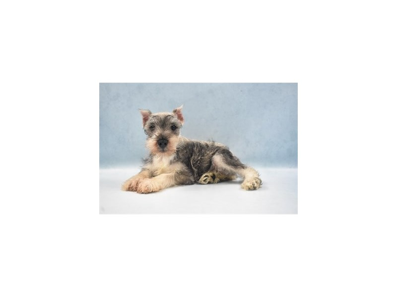 Miniature Schnauzer-Female-Salt & Pepper-2750333-Petland San Antonio