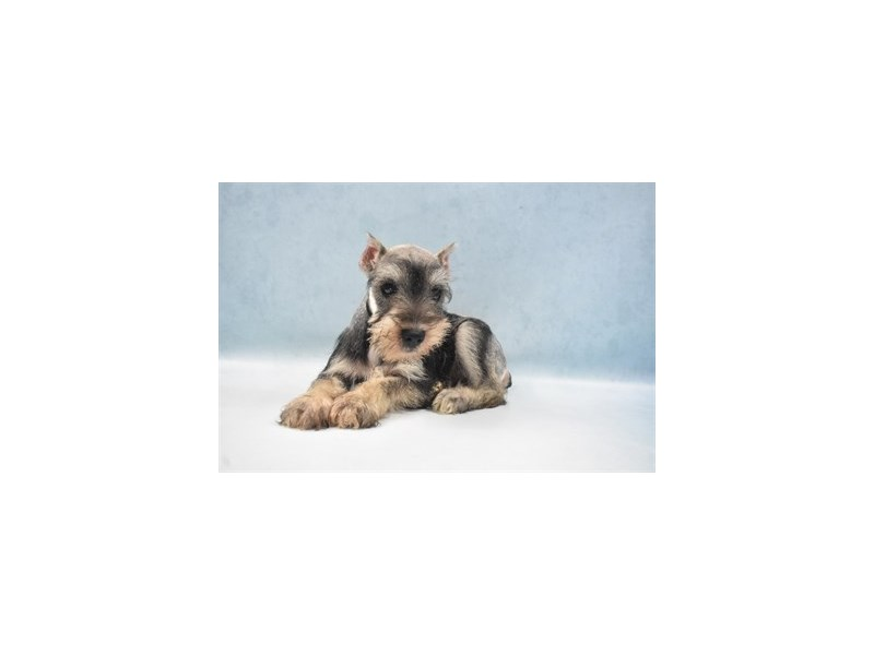Miniature Schnauzer-Female-Salt and Pepper-2750334-Petland San Antonio