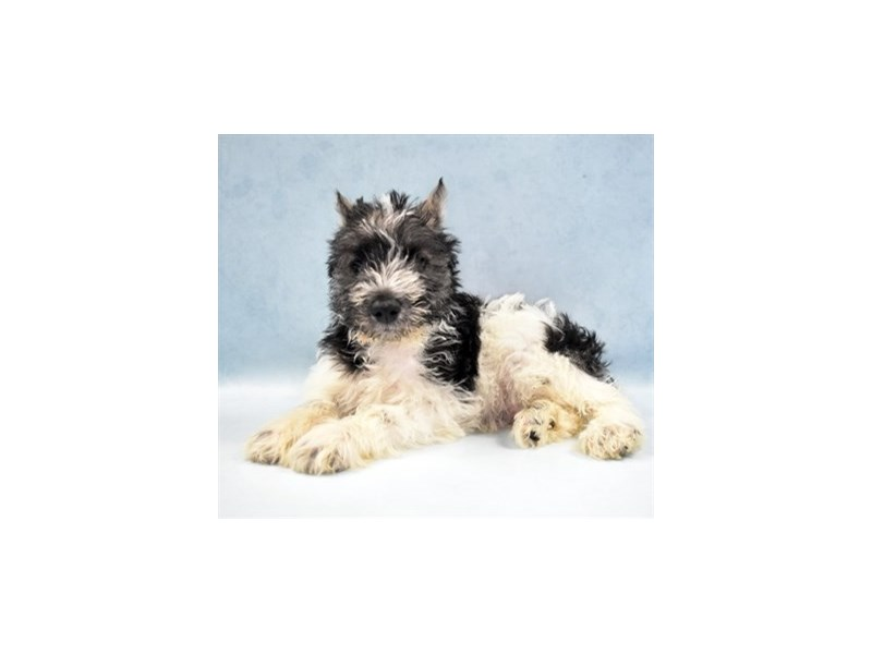 Miniature Schnauzer-Male-Black-2750368-Petland San Antonio