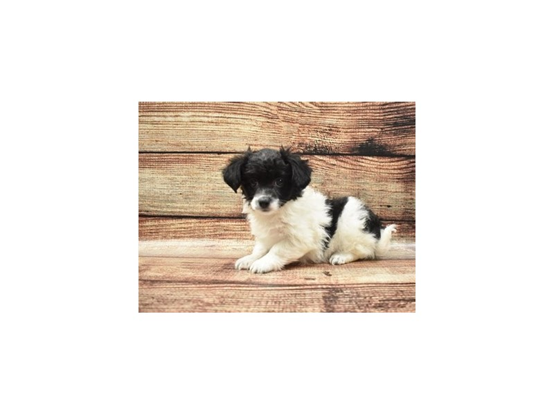 Havanese-Female-Black and White-2757783-Petland San Antonio