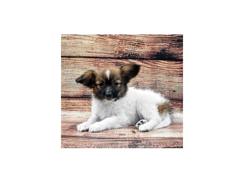 Papillon-Male-White and Sable-2757808-Petland San Antonio