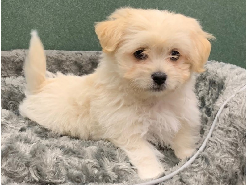 Havanese-Male-Cream-2758925-Petland San Antonio