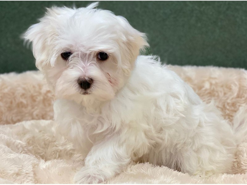 Maltese-Female-White-2766252-Petland San Antonio