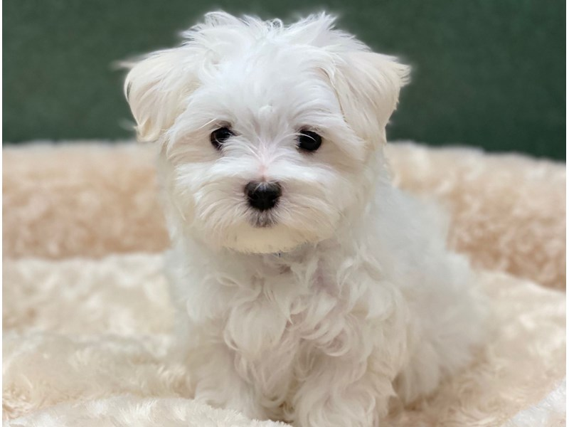 Maltese-Female-White-2766279-Petland San Antonio