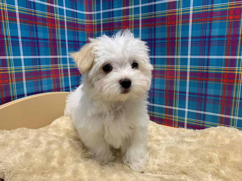 Maltese-Female-wh-2766133-Petland San Antonio