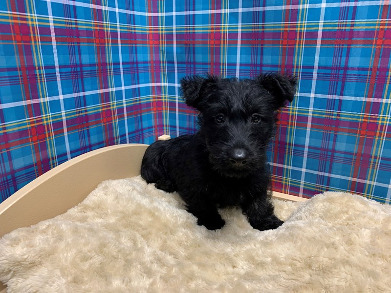 Scottish Terrier-Male-blk brdl-2766097-Petland San Antonio