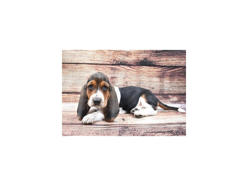 Basset Hound-Female-Black White & Tan-2781055-Petland San Antonio