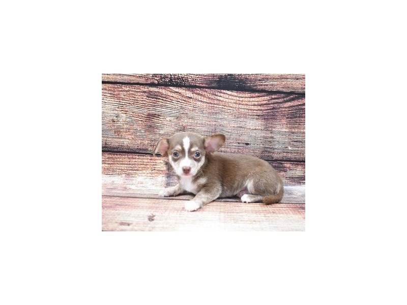 Chihuahua-Male-Chocolate and Tan-2809985-Petland San Antonio
