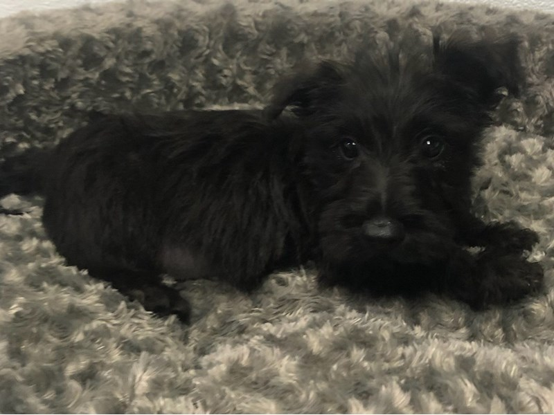 Scottish Terrier-Male-Black-2863960-Petland San Antonio