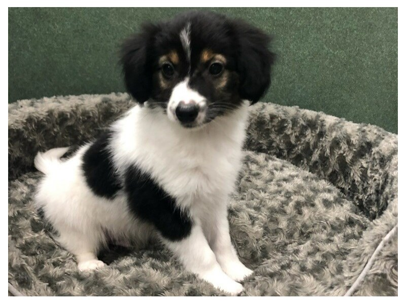 Papillon-Male-White & Black-2834077-Petland San Antonio