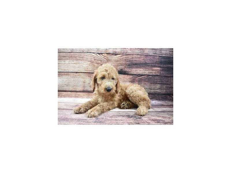 Goldendoodle 2nd Gen-Female-Apricot-2877870-Petland San Antonio
