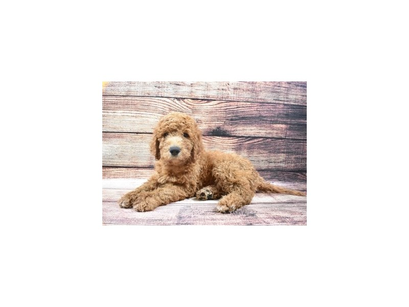 Goldendoodle 2nd Gen-Male-Red-2877871-Petland San Antonio