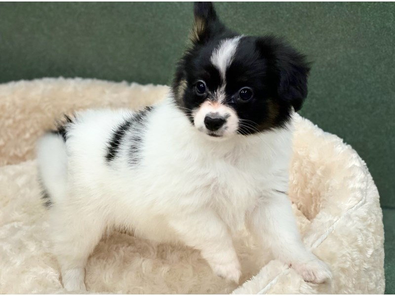 Papillon-DOG-Female-Black & White-2877941-Petland San Antonio