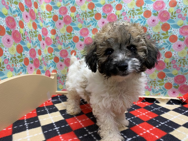 Bichon Poo-Female-Brown and White-2883557-Petland San Antonio