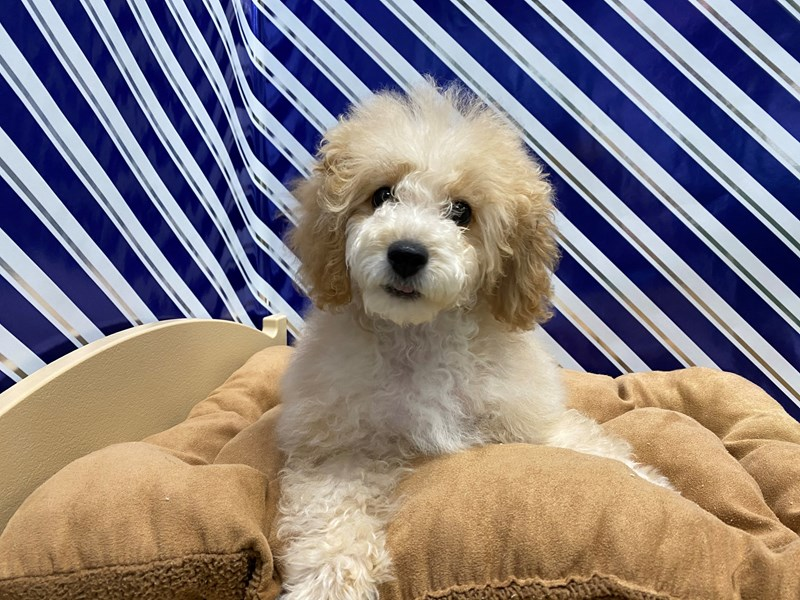 Poodle-DOG-Female-Apricot-2862785-Petland San Antonio