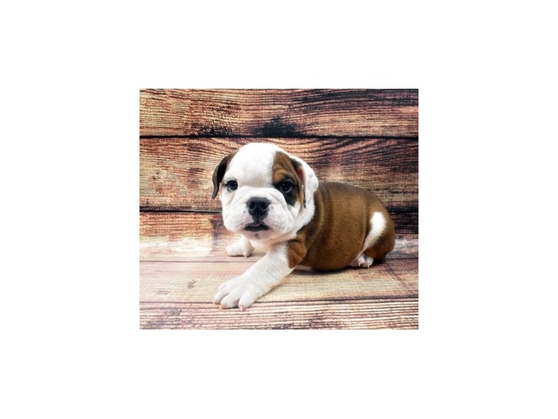 English Bulldog-Male-Red and White-2919000-Petland San Antonio