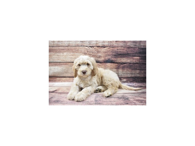 Goldendoodle 2nd Gen-Female-Golden-2933208-Petland San Antonio