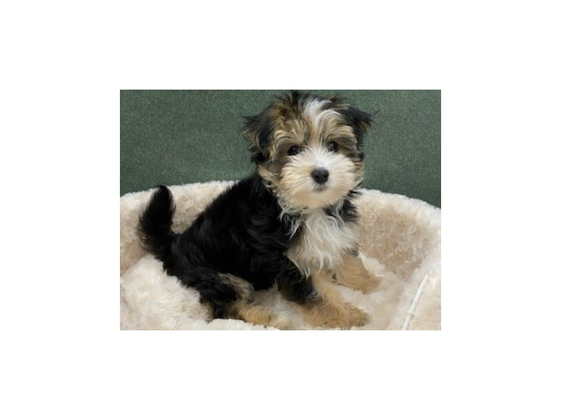 Morkie-Male-Black & Tan-2927272-Petland San Antonio