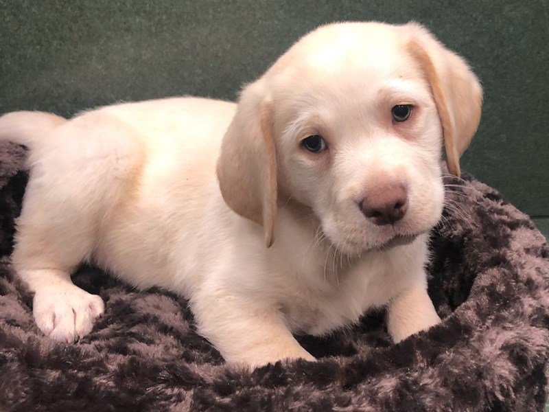 Labrador Retriever-DOG-Male-Yellow-2940948-Petland San Antonio